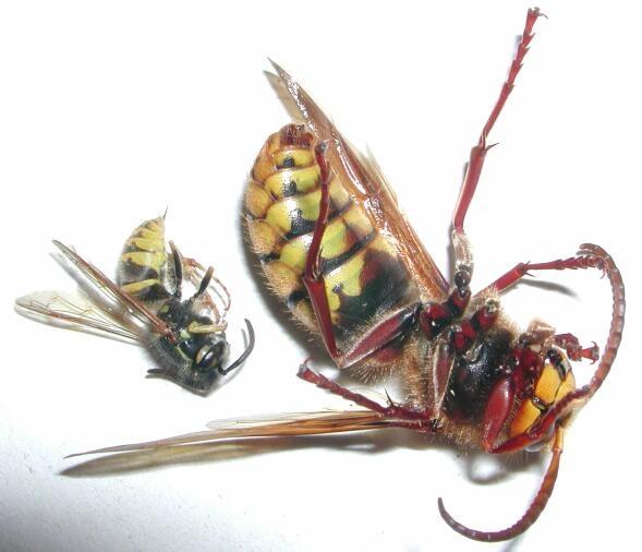 Hornisse Wespe